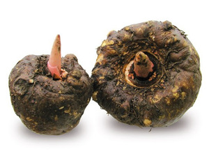 Konjac Root Extract
